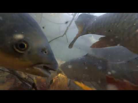 Подводная сьемка Карповые и Лососевые живут вместе №2