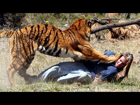 Tiger Attacks Man: Real Tiger Attack Stunt video