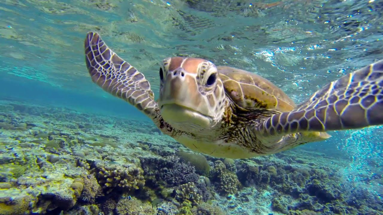 Swim With A Hungry Sea Turtle At Lady Elliot Island, Great