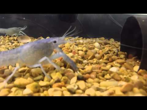 Crayfish eating Squid part 2. Crayfish eating Squid part 2