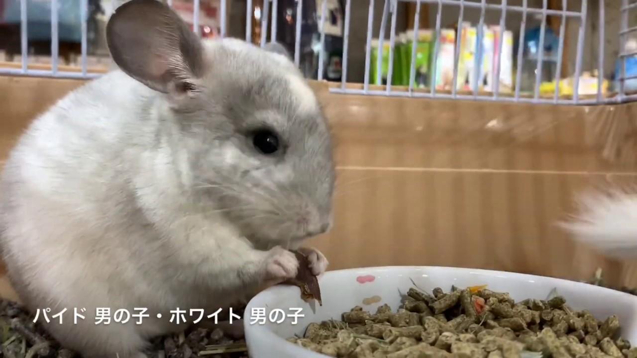 チンチラ 赤ちゃん 販売 大阪
