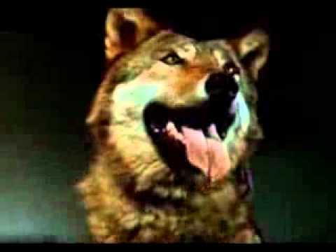 Друг Тыманчи. 1970. СССР.  Волк в кино
