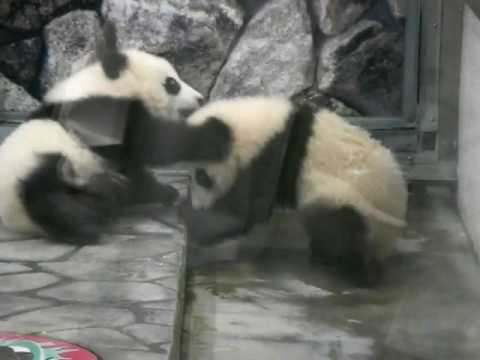 Baby Twin Panda Video