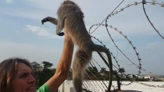 Monkey dies a tortuous death in an urban snare.