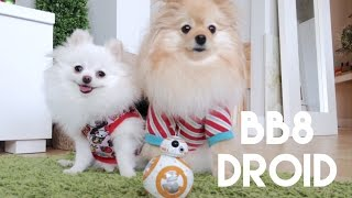 Puppy meets BB8 droid from Star Wars!!!   &   Christmas