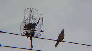 ต่อนกเขาใหญ่ เพนียดเสือหน้าเดียว มวยไฟน์เตอร์คู่ดุเดือดนักรบเพลงคูครับ #เจ้ามะขวิด