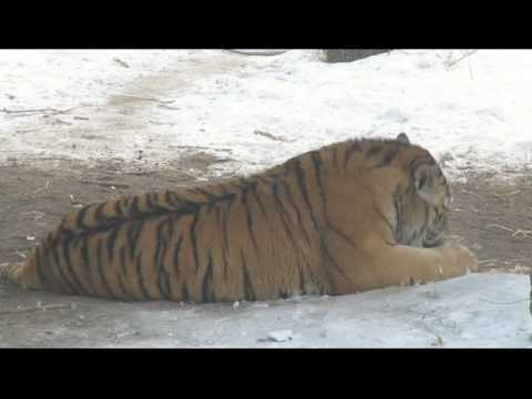 Harbin, China - Siberian Tiger Park - Tiger eats Chicken.avi