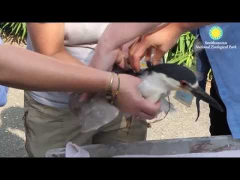 Tagging Black-Crowned Night Herons