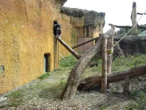 石川動物園 チンパンジー