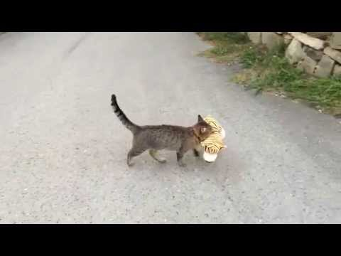 Cat went to the neighbours to borrow a tiger plush toy