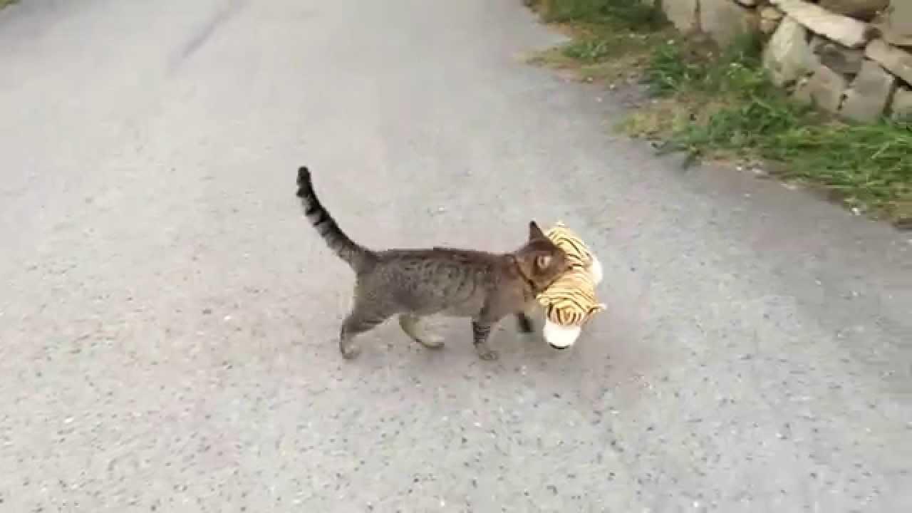 Macska lopott tigriskölyköt - videó