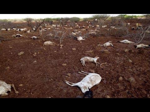 """""""Wenn die Tiere sterben, dann sterben auch die Menschen"""" - Hungersnot in Kenia"""