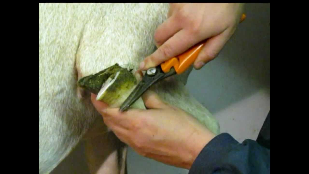 How To Trim Goat Hooves - The Goatmentor