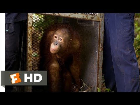 Born to Be Wild #2 Movie CLIP - Orangutan Release (2011) HD