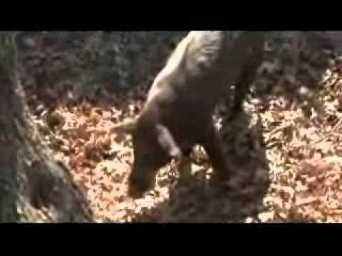 Airgun Pig Hunting Doovi