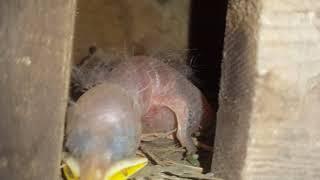 Chuyện Lạ : Không ngờ Chim Sáo và Chim Cưỡng lại bắt cặp sinh ra con chim này! Kêu chim gì? GCSQ 399