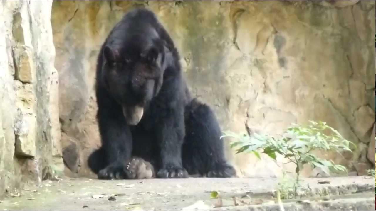 Oso negro americano Baribal American black bear Schwarzb228r