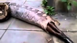 Gaint Snake Eat Cow & Spit Out Must Watch