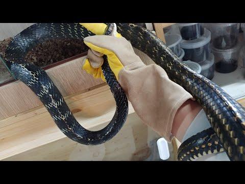 초대형뱀 도착!!!완전 흑룡 3m급 대박크기뱀 실화?