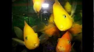 Caracteristicas del pez: Ciclido loro, Perico o Parrot Fish