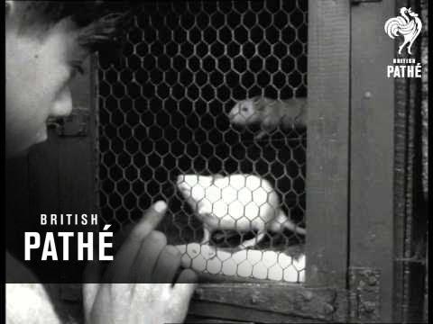 Livestock Dealer (1951)