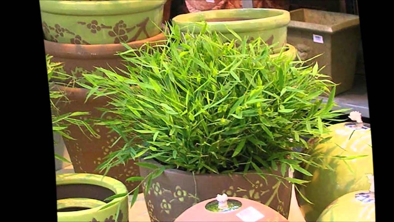 Фото комнатных цветов бамбук