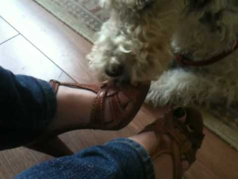 Foot Fetish Dog Wire Haired Fox Terrier video
