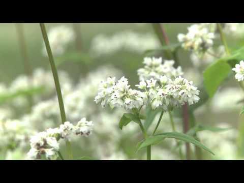揖斐川町 いび源流そば ~そばの花~