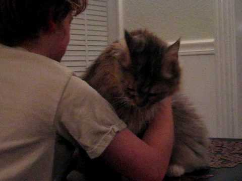 Maine Coon Loving His Boy
