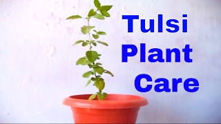 How to Grow & Care Holy Basil/Tulsi Plant Indoor  - October 2016