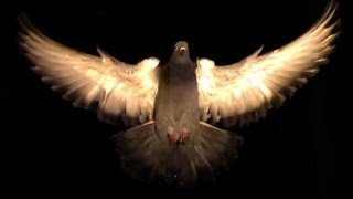 Pigeons artfully dodge obstacles | Science News
