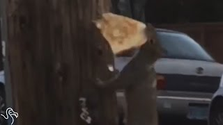 Pizza Rat Has Nothing On Pizza Squirrel