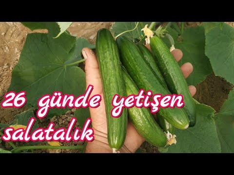 26 günde yetişen salatalık. Örtüaltı sebze yetiştiriciliği eğitim serisi videoları