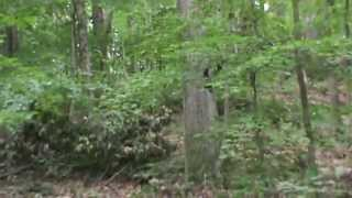Entering The Habituation Area: *Live Footage* (part one) Finding Bigfoot
