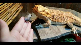 Bearded Dragon quick care guide