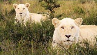Lãnh địa của Sư tử trắng - HD Thuyết minh tiếng việt