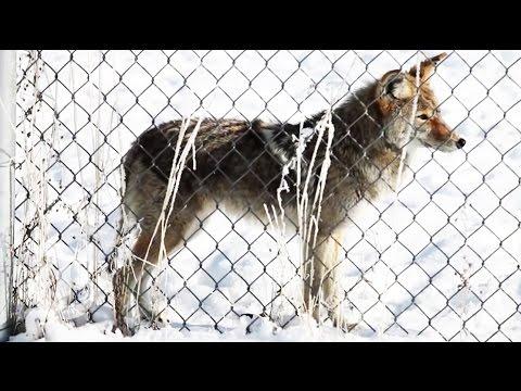 Coyote Hunting in Utah: New Bounty Program Has Hunters Excited