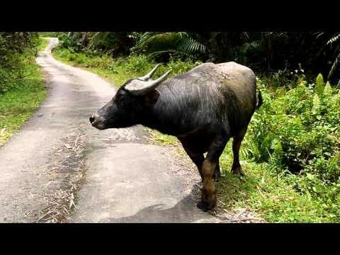 wild water buffalo.mammalia,animalia,chordata,bovidae,bovini,bubalus,bovinae,animal,