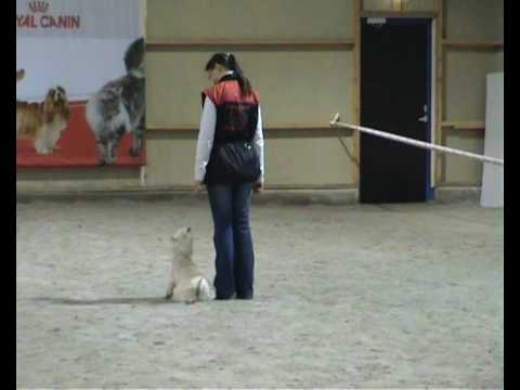 West Highland White Terrier, Rontti, Obedience Video