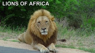 MAJESTIC LIONS OF AFRICA Classic 1987