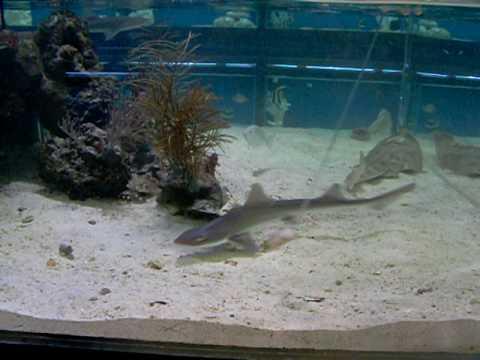 SMOOTH HOUND SHARK FEEDING IN AQUARIUM - YouTube