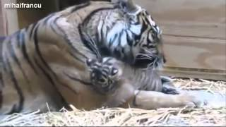 Cute Baby Tiger Videos Compilation 2014 NEW