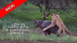 Lion Vs. Hippo: Mother Defends Calf From Lion Attack| Lion Attack Crocodile NEW!!!