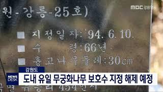 투/도내 유일 강릉 무궁화나무 보호수 지정 해제 예정
