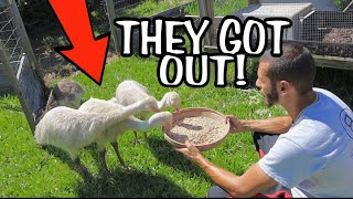 ALL MY WHITE EMUS GOT LOOSE WHAT DO I DO ???