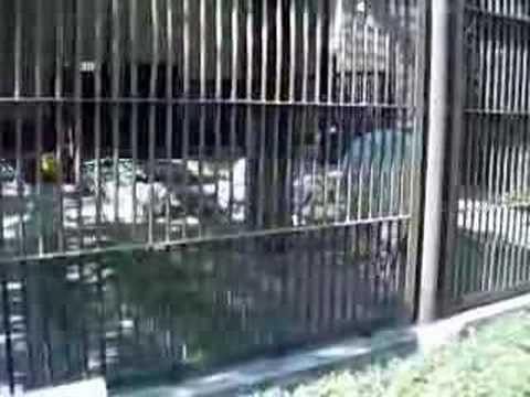 シロクマ@とべ動物園
