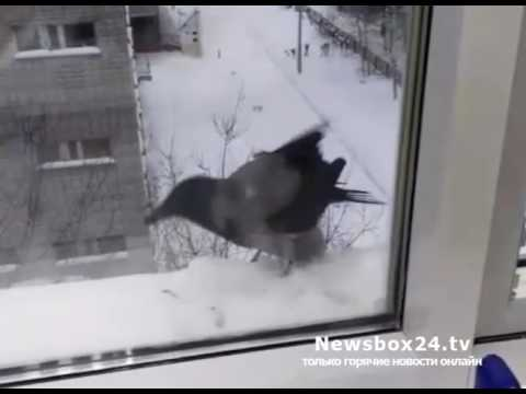 Хитрая ворона, обворовавшая жителей многоэтажки, покоряет Интернет