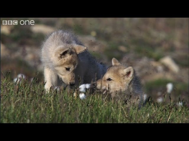 Six Hungry Mouths - Frozen Planet - BBC One