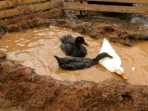 Ducks in home made pond youtube for Homemade biofilter for duck pond