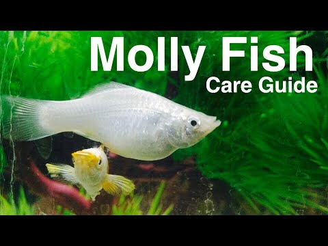 Guppy fish facts caring for guppies how to save money for Guppy fish food